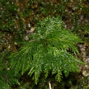 Canalohypopterygium-tamariscinum-indet-umbrella-moss-Natural-Bridge-gorge-Mangapohue-2013-06-21-IMG 8412