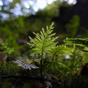 Hypopterygium-sp-umbrella-moss-backlit-Natural-Bridge-gorge-Mangapohue-2013-06-21-IMG 1759