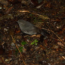 North-Island-robin-Totara-Walk-Pureora-2013-06-21-IMG 8430