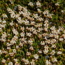 Abrotanella-sp-cushion-plant-Asteraceae-near-ski-area-Tongariro-2015-11-05-IMG 6228