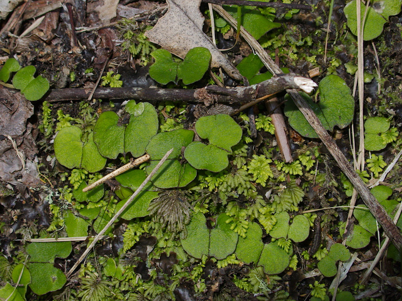 Corybas-trilobus-leaves-spider-orchid-Tongariro-River-Walk-2015-11-01-IMG 6135