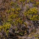Hebe-shrubs-with-perfect-distichous-leaves-Silica-Rapids-Track-Tongariro-2015-11-02-IMG 6204
