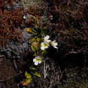 Ourisia-vulcanica-white-flowered-scroph-alpine-near-ski-area-Tongariro-2015-11-05-IMG 6275