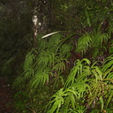 Sticherus-cunninghamia-umbrella-fern-Silica-Rapids-trail-Tongariro-23-06-2011-IMG 8762