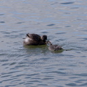 dabchick-being-fed-by-parents-Tokaanu-boat-launch-Taupo-2015-11-05-IMG 6291