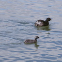dabchick-being-fed-by-parents-Tokaanu-boat-launch-Taupo-2015-11-05-IMG 6292