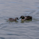 dabchick-being-fed-by-parents-Tokaanu-boat-launch-Taupo-2015-11-05-IMG 6293