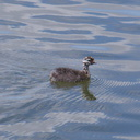dabchick-being-fed-by-parents-Tokaanu-boat-launch-Taupo-2015-11-05-IMG 6294