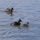 dabchick-being-fed-by-parents-Tokaanu-boat-launch-Taupo-2015-11-05-IMG 6295