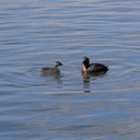dabchick-being-fed-by-parents-Tokaanu-boat-launch-Taupo-2015-11-05-IMG 6296