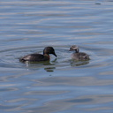 dabchick-being-fed-by-parents-Tokaanu-boat-launch-Taupo-2015-11-05-IMG 6297