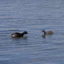 dabchick-being-fed-by-parents-Tokaanu-boat-launch-Taupo-2015-11-05-IMG 6301