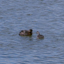 dabchick-being-fed-by-parents-Tokaanu-boat-launch-Taupo-2015-11-05-IMG 6302