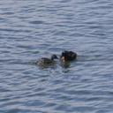 dabchick-being-fed-by-parents-Tokaanu-boat-launch-Taupo-2015-11-05-IMG 6309