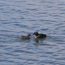 dabchick-being-fed-by-parents-Tokaanu-boat-launch-Taupo-2015-11-05-IMG 6310