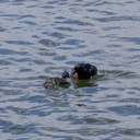 dabchick-being-fed-by-parents-Tokaanu-boat-launch-Taupo-2015-11-05-IMG 6316
