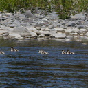 paradise-shelduck-chicks-Tadorna-variegata-near-Bridge-Pool-Tongariro-River-2015-11-09-IMG 6370
