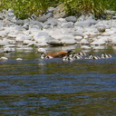 paradise-shelduck-chicks-Tadorna-variegata-near-Bridge-Pool-Tongariro-River-2015-11-09-IMG 6371