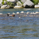 paradise-shelduck-chicks-Tadorna-variegata-near-Bridge-Pool-Tongariro-River-2015-11-09-IMG 6373
