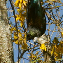 tui-in-kowhai-Sophora-microphylla-Tokaanu-boat-launch-2015-11-07-IMG 6354 v2