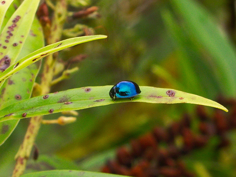 beetle-cobalt-blue-mirror-Te-Paupo-beach-Lake-Okataina-06-06-2011-IMG_8290.jpg