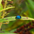 beetle-cobalt-blue-mirror-Te-Paupo-beach-Lake-Okataina-06-06-2011-IMG 8290
