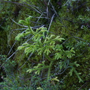 club-moss-miniature-Christmas-tree-Rainbow-Mtn-2013-06-29-IMG 2114