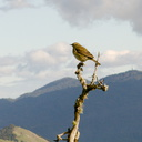 flycatcher-indet-summit-Rainbow-Mtn-2013-06-29-IMG 2069