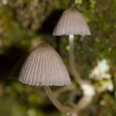 fungi-blue-green-gill-indet-Okere-Falls-05-06-2011-IMG 2250