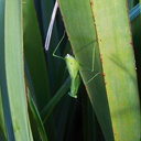 preying-mantis-on-Phormium-rim-of-gold-pit-mine-Waihi-28-05-2011-IMG 8046