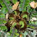 fern-cf-Pellaea-sp-young-fronds-uncurling-Aniwaniwa-to-Lake-Waikereti-2015-10-23-IMG 2302