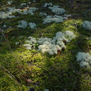 fruticose-lichen-whitish-clouds-on-moss-DOC-track-access-Galatea-Te-Urewera-2013-06-25-IMG 1935
