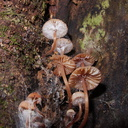 gill-mushrooms-growing-in-tree-crevice-Galatea-Foothills-Track-Te-Urewera-2013-06-25-IMG 1945