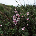 Leptospermum-scoparium-manuka-pink-form-South-Head-Hokianga-09-07-2011-IMG 9150