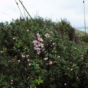 Leptospermum-scoparium-manuka-pink-form-South-Head-Hokianga-09-07-2011-IMG 9153
