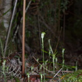 Pterostylis-sp-greenhood-orchid-Large-Kauri-Sanctuary-Waipoua-Forest-09-07-2011-IMG 9173