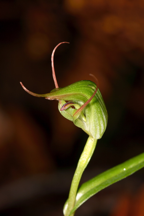 Pterostylis-sp2-greenhood-orchid-Large-Kauri-Sanctuary-Waipoua-Forest-09-07-2011-IMG 2799