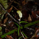 Pterostylis-sp3-greenhood-orchid-Large-Kauri-Sanctuary-Waipoua-Forest-09-07-2011-IMG 2785