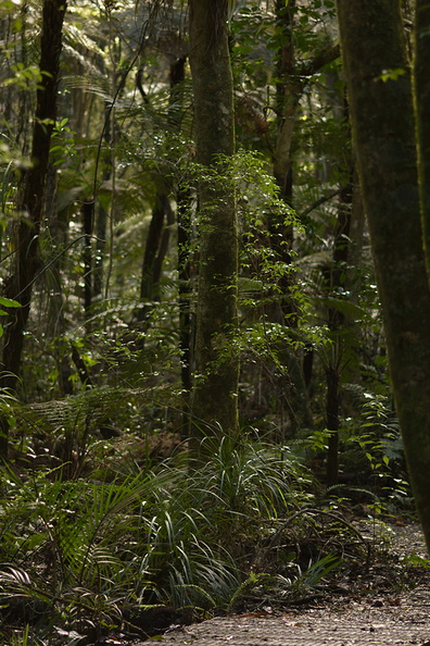 forest-tree-trunks-understory-Trounson-Kauri-Reserve-10-07-2011-IMG 2816