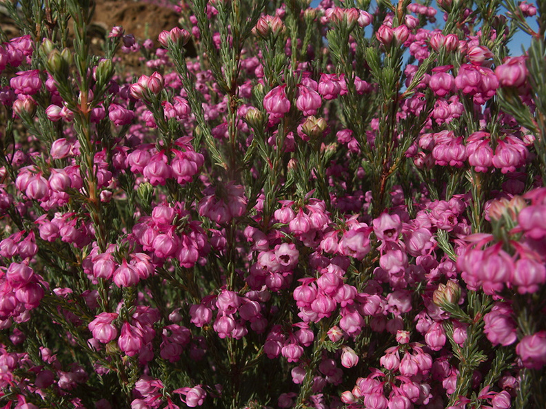 pink-heather-Kai-Iwi-Lakes-region-10-07-2011-IMG 9186