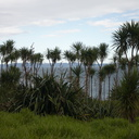 Cordyline-and-Phormium-tenax-Bream-Head-track-Whangarei-11-07-2011-IMG 2881
