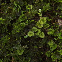 Hypopterygium-and-Mniodendron-true-and-pseudo-umbrella-moss-AHReed-Kauri-Park-2013-07-16-IMG 2655