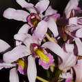 Laelia-superbiens-Whangarei-Orchid-Show-2015-09-25-IMG_1504.jpg