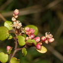 Muehlenbeckia-complexa-maidenhair-vine-divaricating-shrub-in-flower-Ocean-Beach-Bream-Head-Track-2013-07-17-IMG 9381