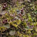 Corybas-oblongus-spider-orchid-flowering-group-Dundas-Track-Parihaka-2015-09-24-IMG 5506