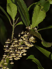 Melicytus-dentata-pendulous-cream-colored-flowers-Dundas-Track-Parihaka-2015-09-24-IMG 1453