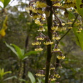 Melicytus-dentata-pendulous-cream-colored-flowers-Dundas-Track-Parihaka-2015-09-24-IMG 5521