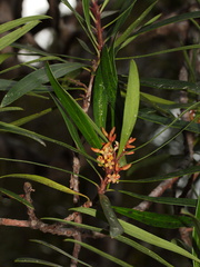 indet-small-tree-reddish-4-merous-flowers-Dundas-Track-Parihaka-2015-09-24-IMG 1457
