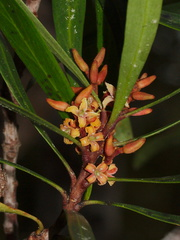 indet-small-tree-reddish-4-merous-flowers-Dundas-Track-Parihaka-2015-09-24-IMG 1457 v2