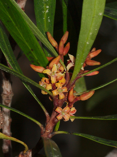 indet-small-tree-reddish-4-merous-flowers-Dundas-Track-Parihaka-2015-09-24-IMG_1457_v2.jpg
